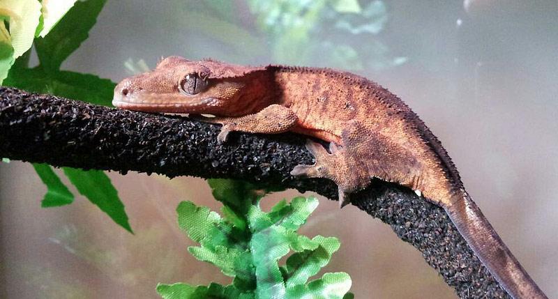 Geckos as Pets - Colorful Reptiles