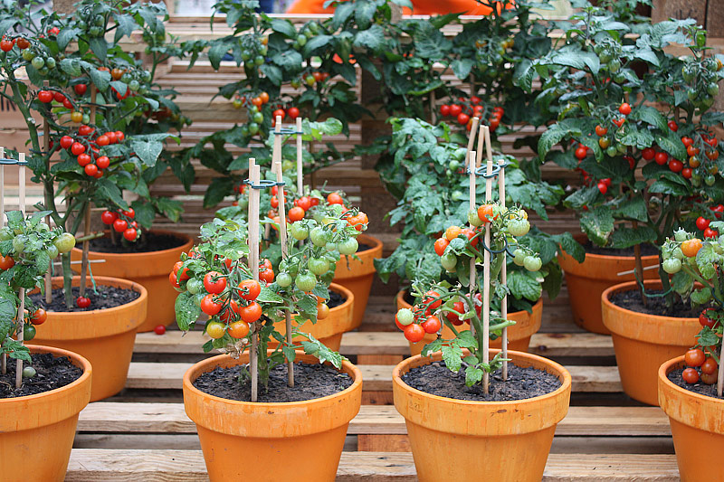 Cherry Tomatoes Growing Guide Quiet Corner