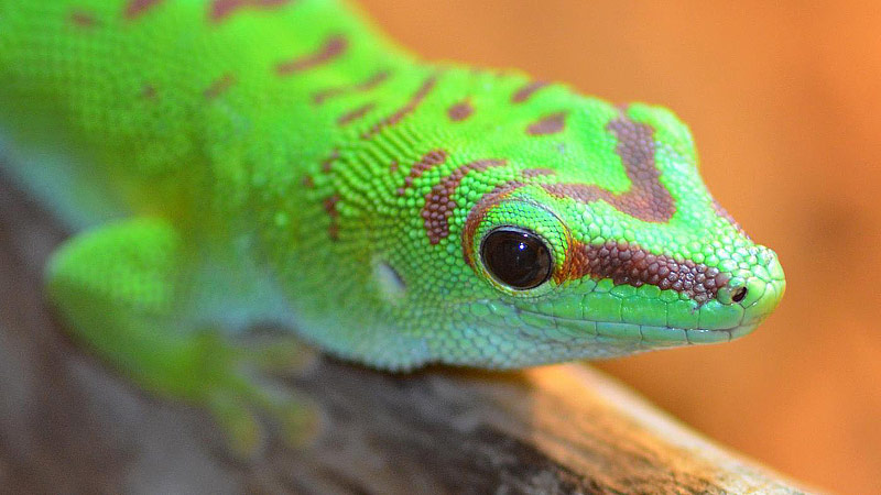 Geckos as Pets - Colorful Reptiles