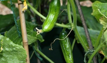Bitter Cucumbers – What to Do?