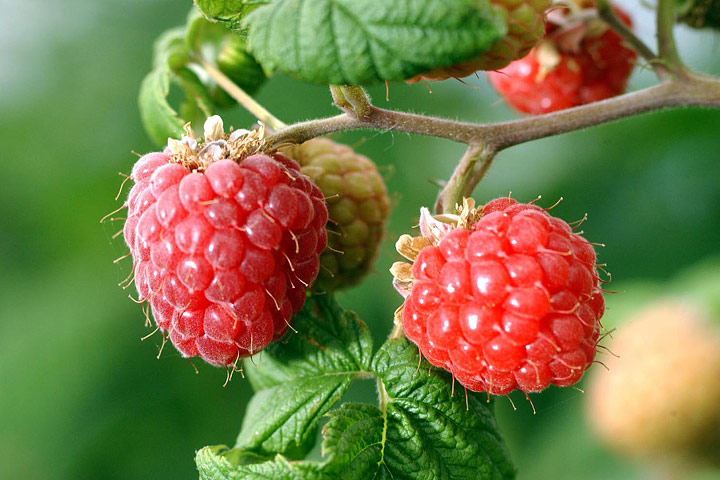 How To Pruning Red Raspberries Quiet Corner