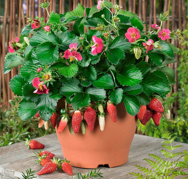 Quiet Corner Container Gardening Ideas: Quiet Corner:How To Grow Berries In Containers