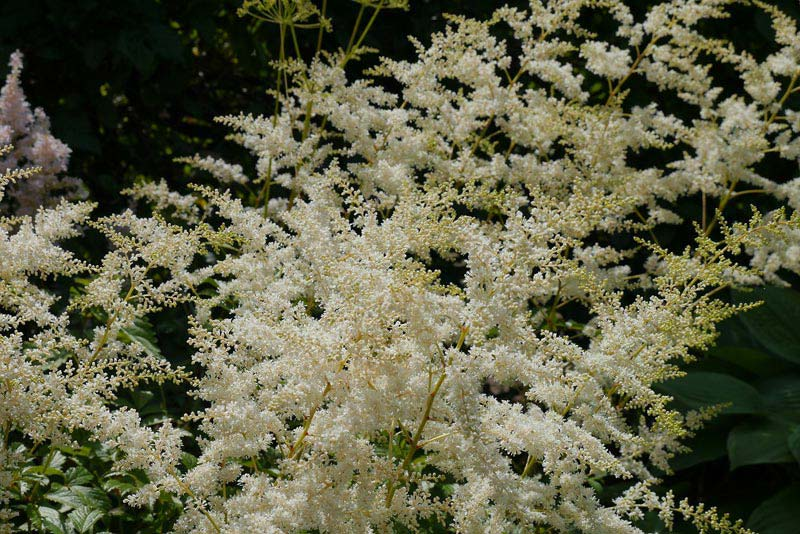 Growing Astilbe