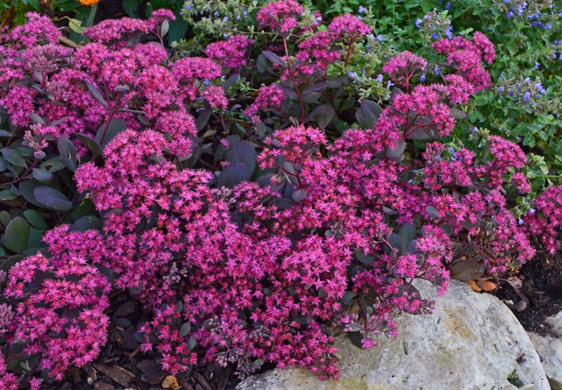 Growing Sedum (Stonecrop)