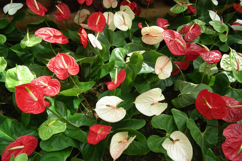 How To Grow Anthuriums Outdoors