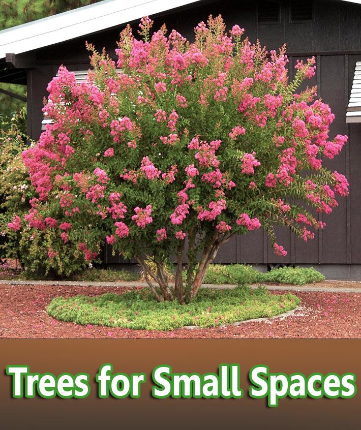Quiet corner trees for small spaces quiet corner for Slender trees for small spaces