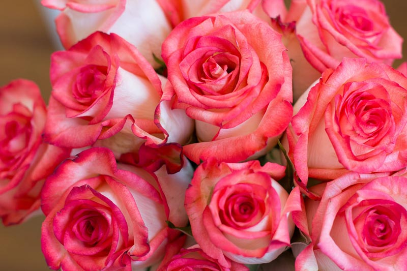 Tricks to Make Your Roses Bloom 1
