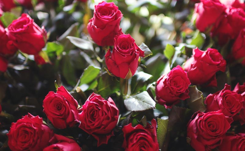 Tricks to Make Your Roses Bloom