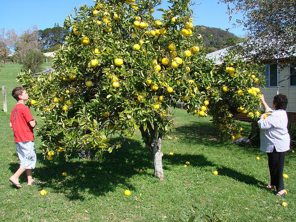 Tips For How To Grow Grapefruit
