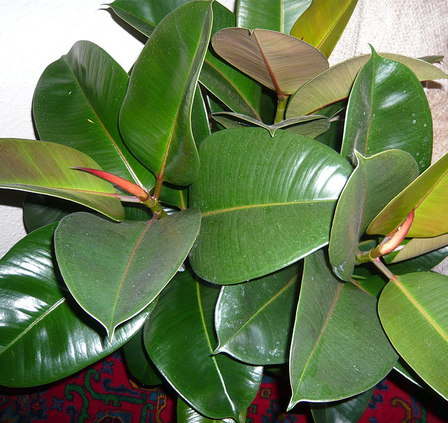 The Rubber Plant - Growing Guide