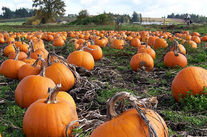 Pumpkins - Growing Guide