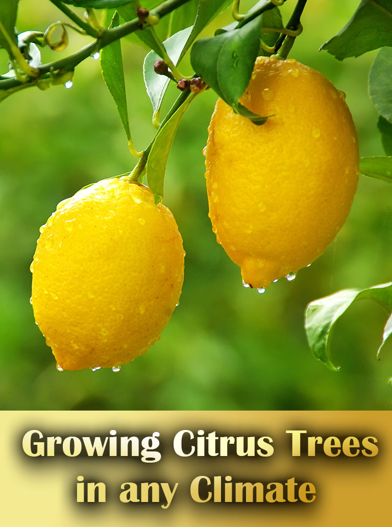 10 Tips for Growing Citrus Trees in any Climate