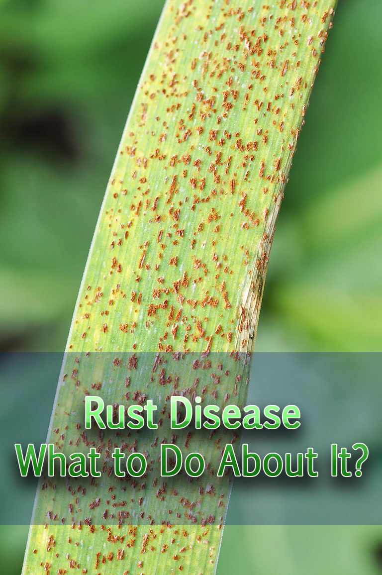 Rust Disease - What to Do About It