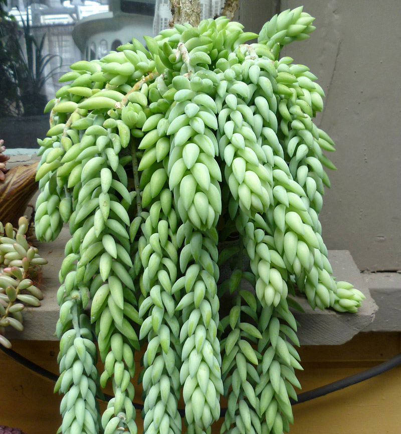 3 Unusual Succulents For Your Hanging Baskets Quiet Corner