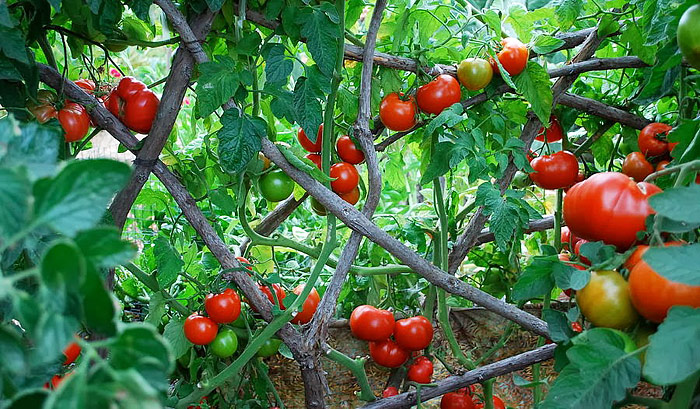 Top 10 Tomato Growing Myths
