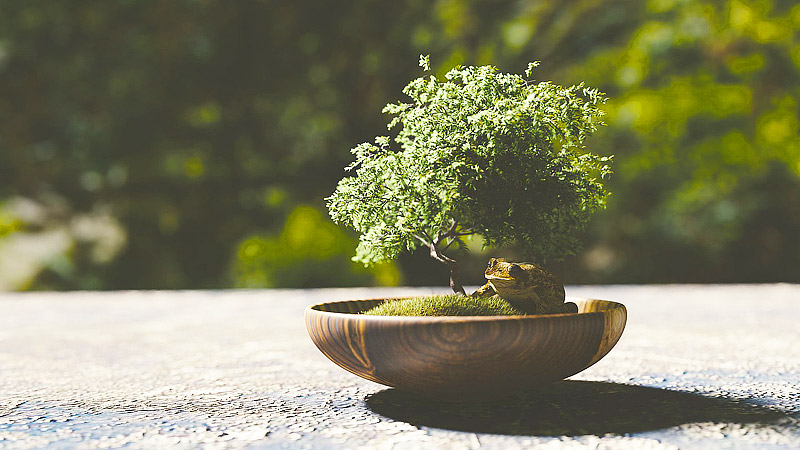 Growing Bonsai - Indoors or Outdoors?