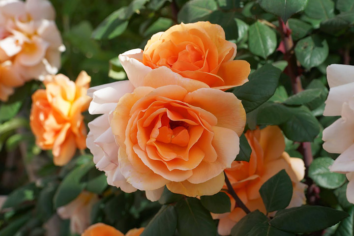 Essential Tips for Growing Roses Like a Pro