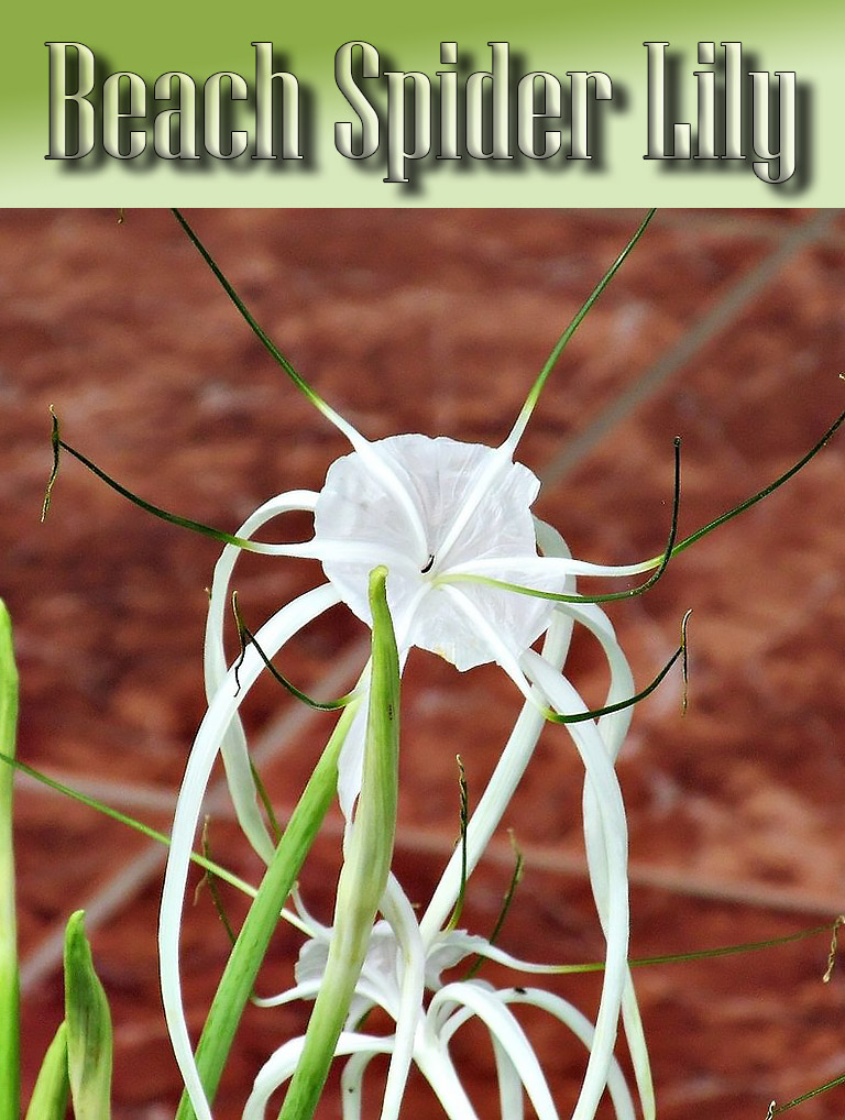 Beach Spider Lily - Growing Guide