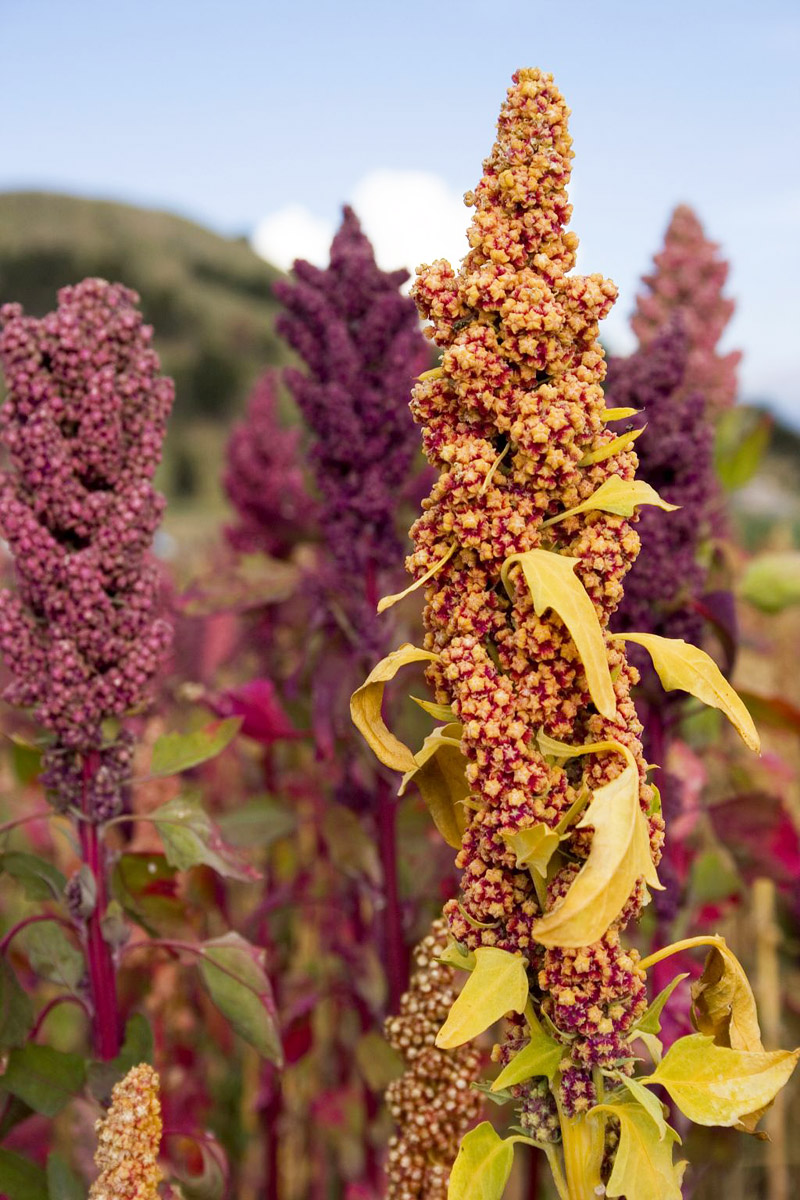 Quinoa Growing Guide