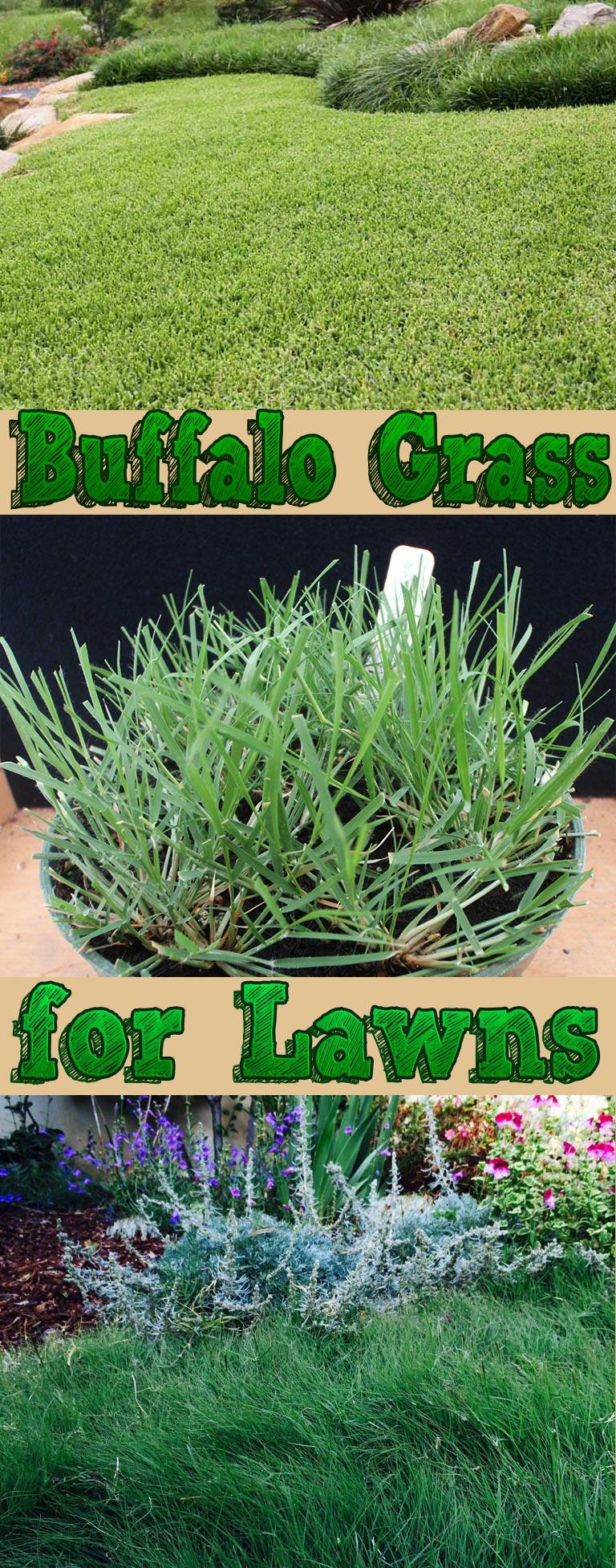 Buffalo Grass for Lawns