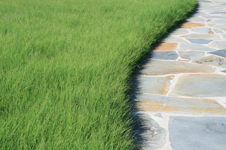Buffalo grass for lawns quiet corner for Best grass for garden