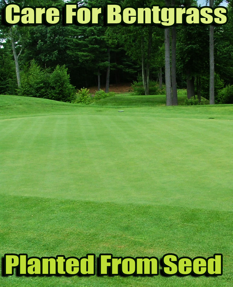 A beautiful, fine-bladed, tufted grass that takes lots of tender loving care, Bentgrass (Agrostis Spp.) is often included in luxury lawn seed mixes. When you see the rolling lawns of English country estates in the movies or admire those lush golf course putting greens, you're probably looking at bent grass... #lawn #Bentgrass #LawnCare