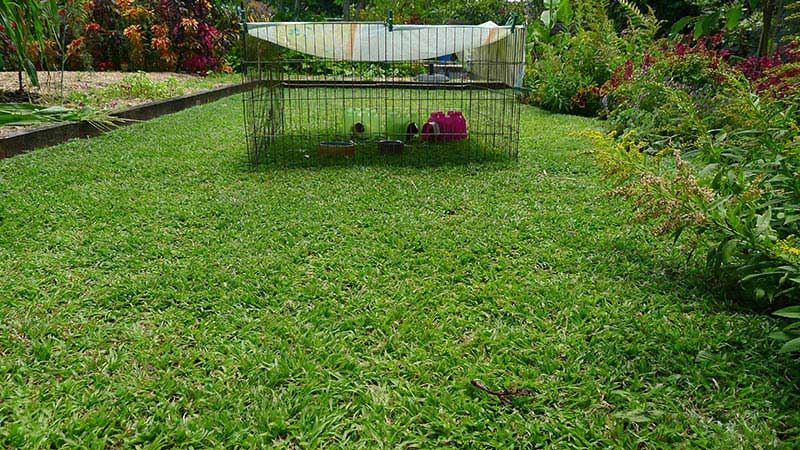 Carpet Grass for Lawns