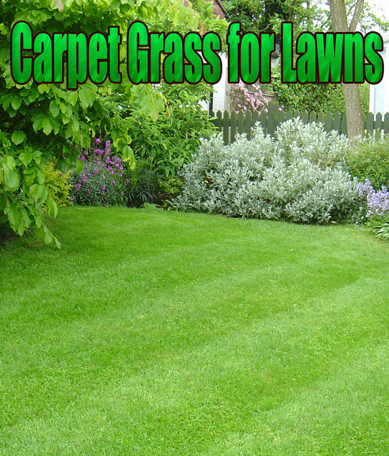 Carpet Grass for Lawns