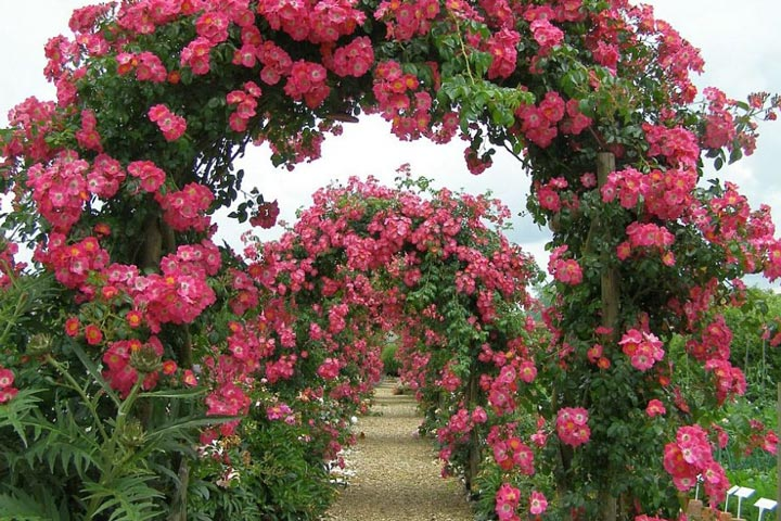 Roses Trellises