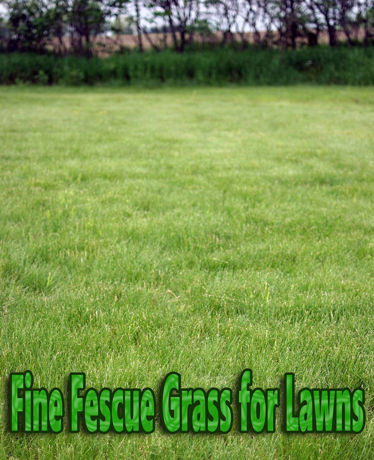 Quiet Corner Fine Fescue Grass For Lawns Quiet Corner