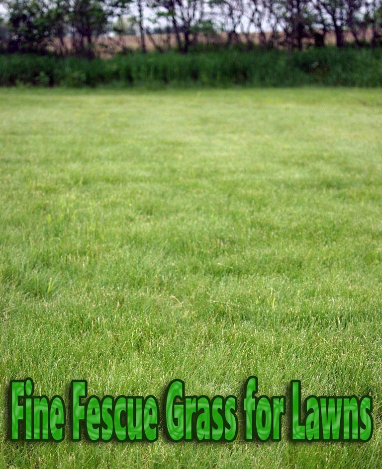 Fine Fescue Grass for Lawns
