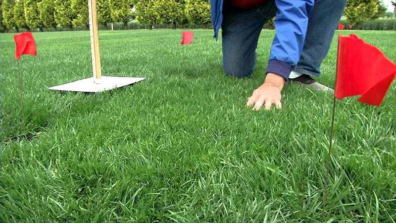 Tall fescue grass for lawn quiet corner for Tall outdoor grasses