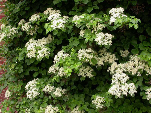 Shrubs That Grow in Shade