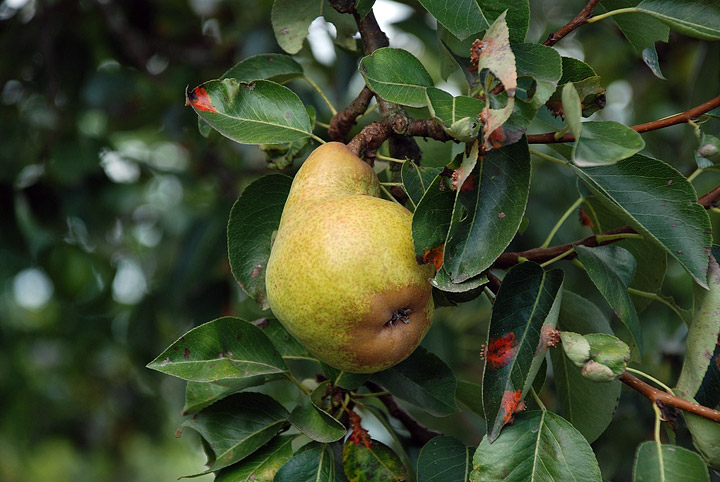 Pears - Growing Guide