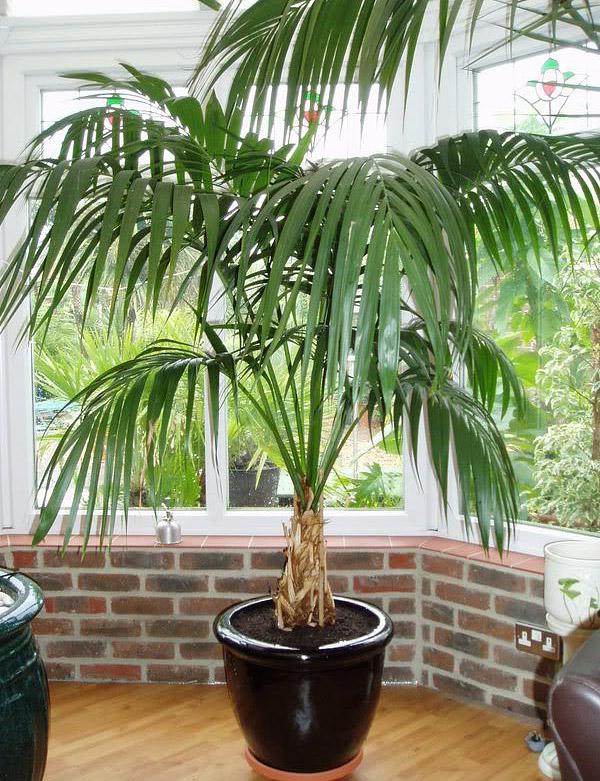 Kentia Palm - Care and Info