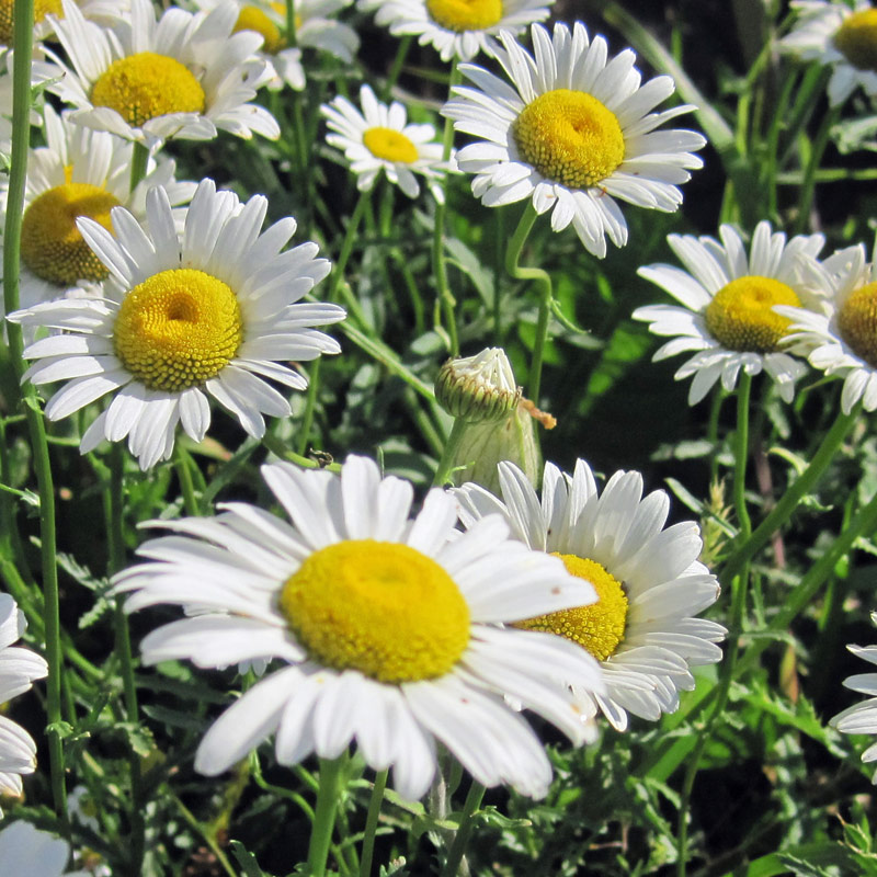 Make Your Own Pyrethrum Insecticide