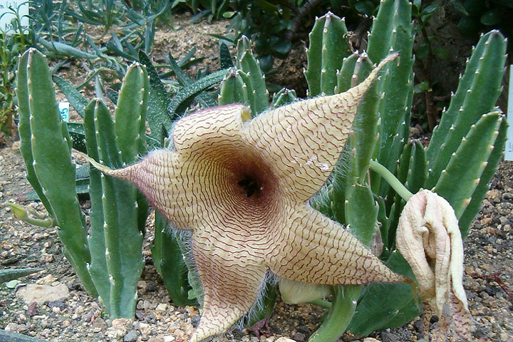 Stapelia Gigantea - Growing Guide