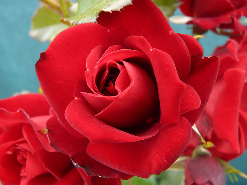 Gorgeous Flowers - A Brief History of Roses