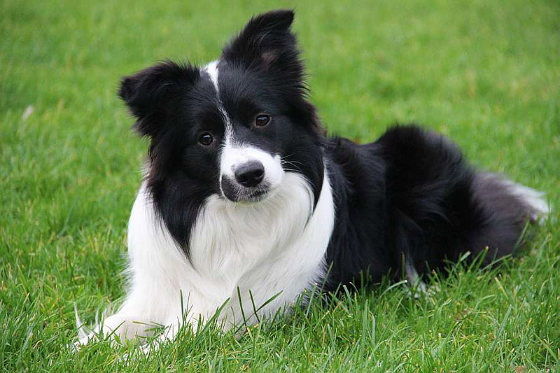 Easiest Dog Breeds to Train: The Fastest Learners