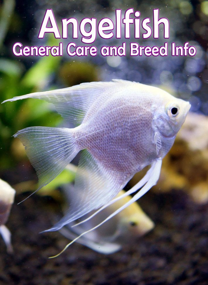 Angelfish – General Care and Breed Info
