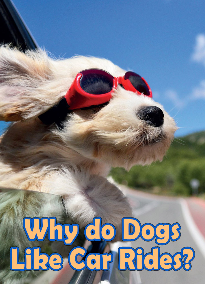 Dogs Behavior - Why do Dogs Like Car Rides? - Quiet Corner