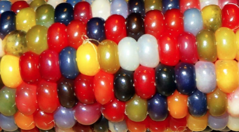 How To Grow Glass Gem Corn