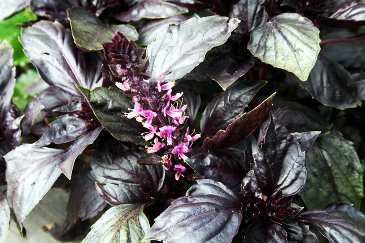 How to Grow Dark Opal Basil