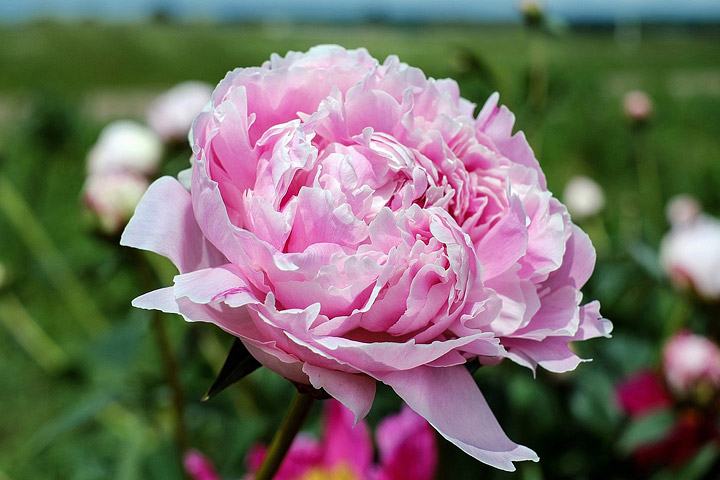 Peonies how to plant grow and care for peony plants quiet corner - Growing peonies in the garden ...