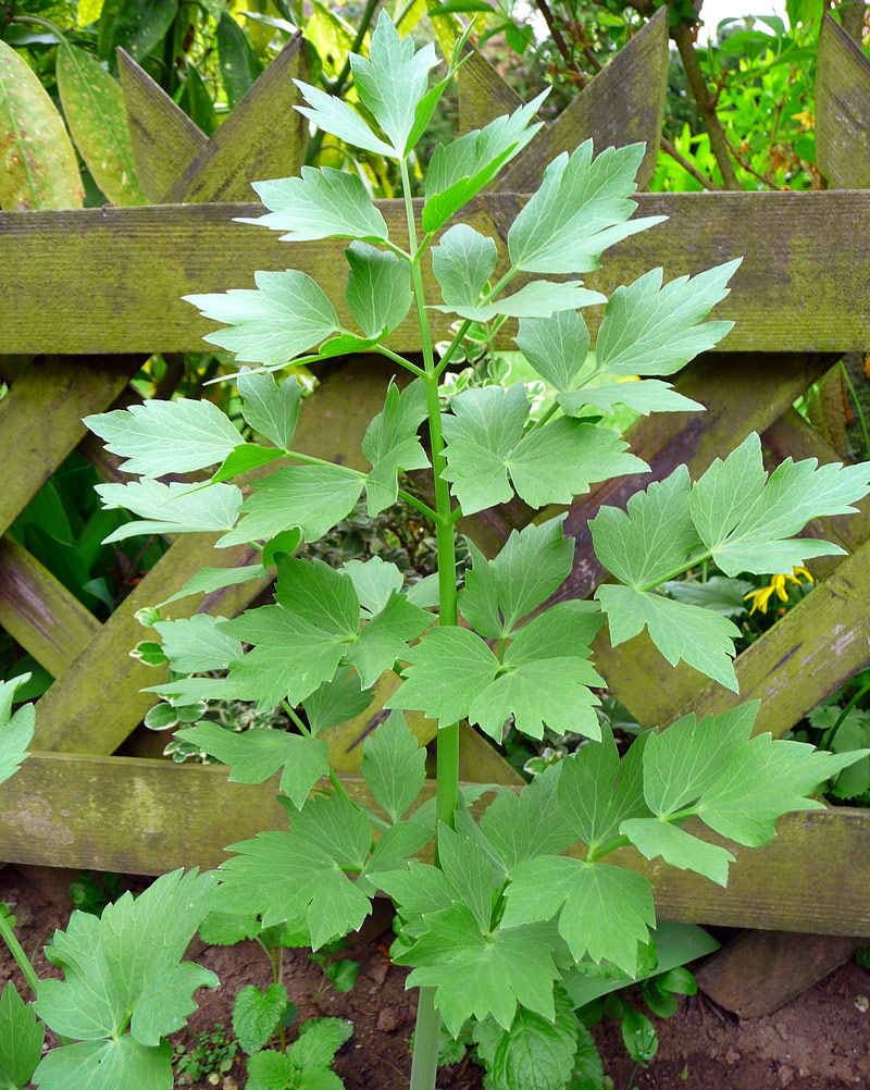 How to Grow Big and Beautiful Lovage