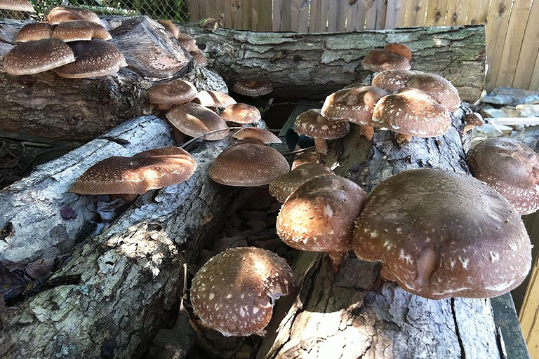 How to Grow Your Own Shiitake Mushrooms