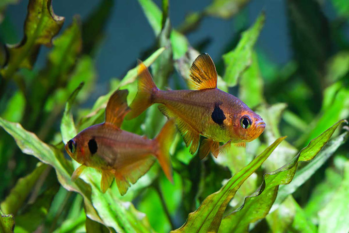 Quiet Corner Tetra Fish Info 5 Most Popular Tetra Fish Types Quiet Corner