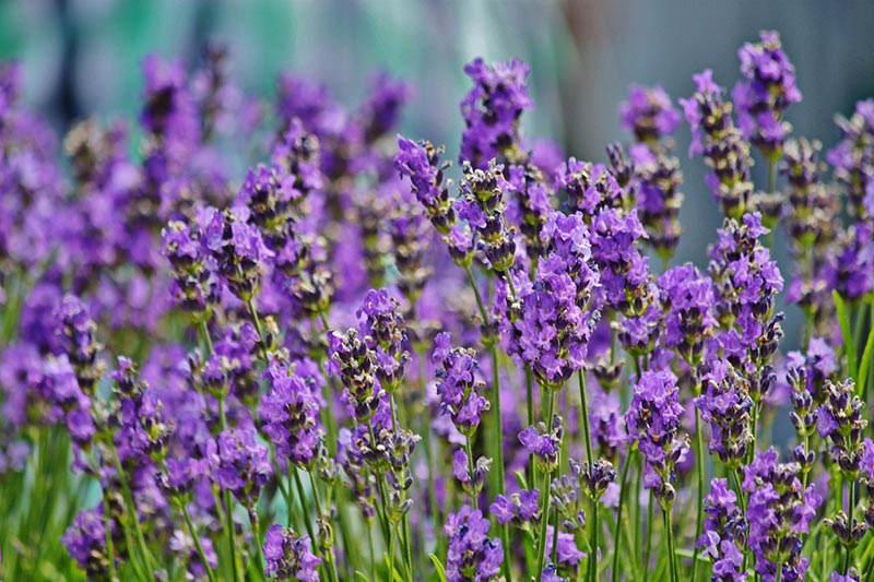 Enjoy Growing Your Own Lavender With These Tips