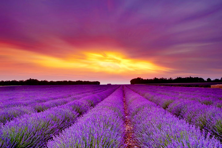 Enjoy Growing Your Own Lavender With These Tips - Quiet Corner