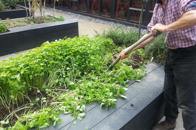 Growing Green Manures